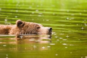 Grizzly_Bear_Swimming