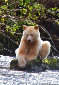 Spirit Bear Sitting