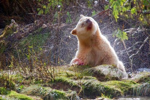 Spirit_Bear_waterspray