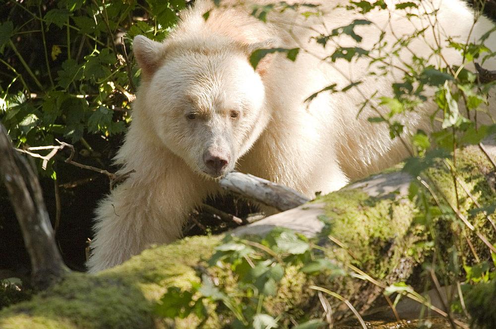 polar bear catching fish