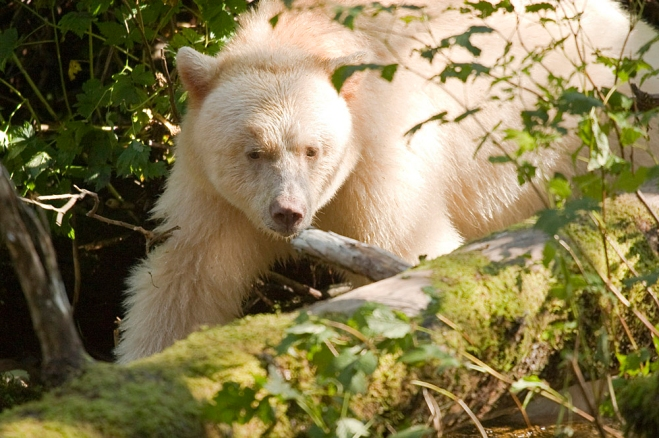 spirit bear forest