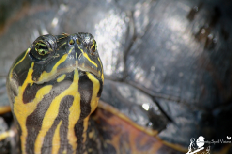 A Red-bellied turtle finds sanctuary at Flamingo Gardens