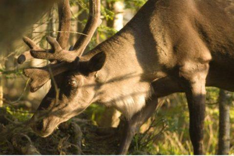 woodland_caribou.jpg.size.xxlarge.letterbox