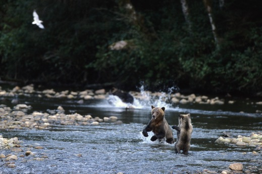 Grizzlies in the Great Bear Rainforest