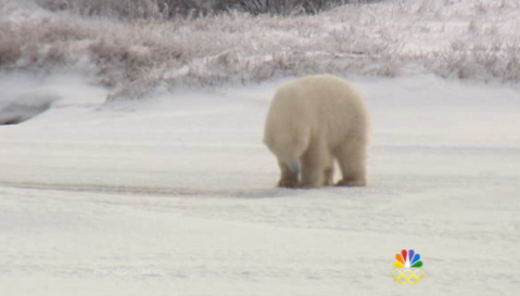 The polar bears in the Canadian tundra rely on ice when hunting for food – but the shrinking ice floes are driving them on land earlier than usual, to a place where there are no seals to eat.